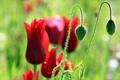Картинка природа, цветы, маки