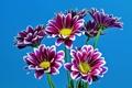 Картинка фиолетовые, хризантемы, голубой фон