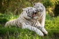 Картинка белый тигр, оскал, трава, кошка, пара