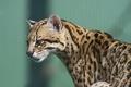 Картинка кошка, оцелот, ©Tambako The Jaguar