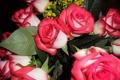 Картинка фото, Цветы, Розовый, Розы