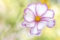 Картинка цветок, краски, лепестки, космея