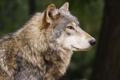Картинка взгляд, уверенность, спокойствие, Волк, профиль