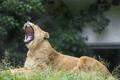 Картинка кошка, трава, пасть, львица, зевает, ©Tambako The Jaguar