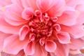Картинка розовый, цветок, георгин