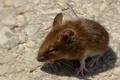 Картинка фон, мышь, грызун
