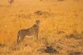 Картинка поза, хищник, гепард, саванна, Африка, дикая кошка, наблюдение