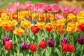 Картинка бутоны, разноцветные, тюльпаны