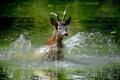 Картинка вода, брызги, олень