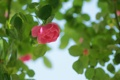 Картинка зелень, цветок, листья, розовая, роза