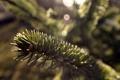 Картинка макро, иголки, блики, дерево, растение, ель, ветка
