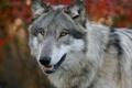 Картинка лес, опасность, волк, природа, хищник, собака