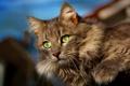 Картинка eyes, hair, feline