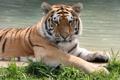 Картинка кошка, трава, вода, амурский тигр