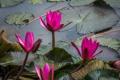 Картинка листья, розовые, ярко, цветение, водяные лилии, водоем