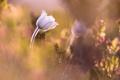 Картинка природа, цветок, Anémone alpine