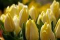 Картинка макро, цветы, желтые, тюльпаны