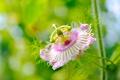 Картинка цветок, розовая, лепестки, пестик, тычинка, Пассифлора