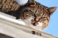 Картинка кот, взгляд, животное, окрас, уши