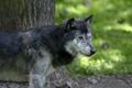 Картинка серый, волк, хищник, профиль