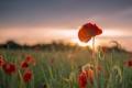 Картинка поле, закат, цветы, маки, колосья