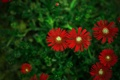 Картинка красные, цветы, зелень, размытость