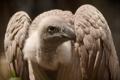 Картинка природа, птица, vulture