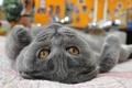 Картинка коты, животные, хищники