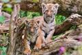 Картинка тигры, тигрята, брёвна