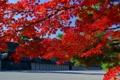 Картинка осень, листья, ветки, Япония, клен