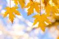 Картинка листья, осень, небо, клен