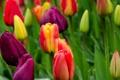 Картинка цветы, природа, тюльпаны