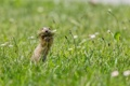Картинка трава, природа, Европейский суслик