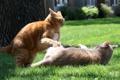 Картинка лужайка, коты, драка, лето