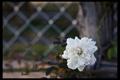 Картинка белый, цветок, фон, георгин, в карпинку