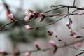 Картинка china, plum flower, flowers, pink