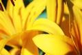 Картинка лилия, желтые, лепестки