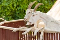 Картинка козел, пара, коза, копыта