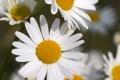 Картинка белый, макро, цветы, ромашки