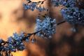 Картинка цветы, ветка, стебель, бутоны, вишни, боке, синие цветы