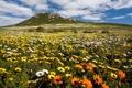 Картинка поле, лето, пейзаж, цветы, гора