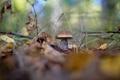Картинка осень, лес, подберёзовик, обабок