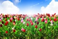 Картинка облака, лучи, тюльпаны
