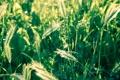 Картинка пшеница, поле, трава, макро, природа, фото, колоски