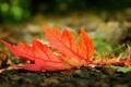Картинка осень, макро, красный, лист, земля, autumn, macro