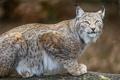 Картинка кошка, взгляд, рысь, ©Tambako The Jaguar