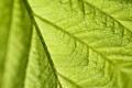 Картинка макро, лист, зеленый