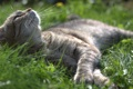 Картинка кот, лежит, котяра, кошак, травка