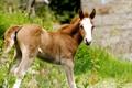 Картинка зелень, трава, морда, цветы, лошадь, рыжий, грива