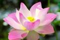 Картинка цветок, макро, розовый, лепестки, лотос